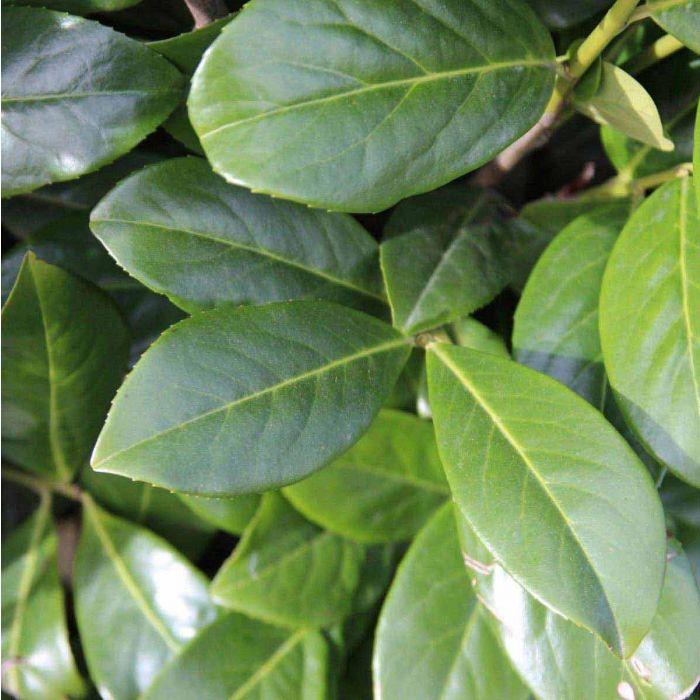 dunkelgrün glänzende Blätter
