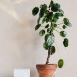 Wählen Sie einen kleinen, mittleren oder großen Olivenbaum